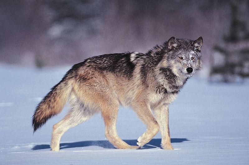 cray wolf.jpg