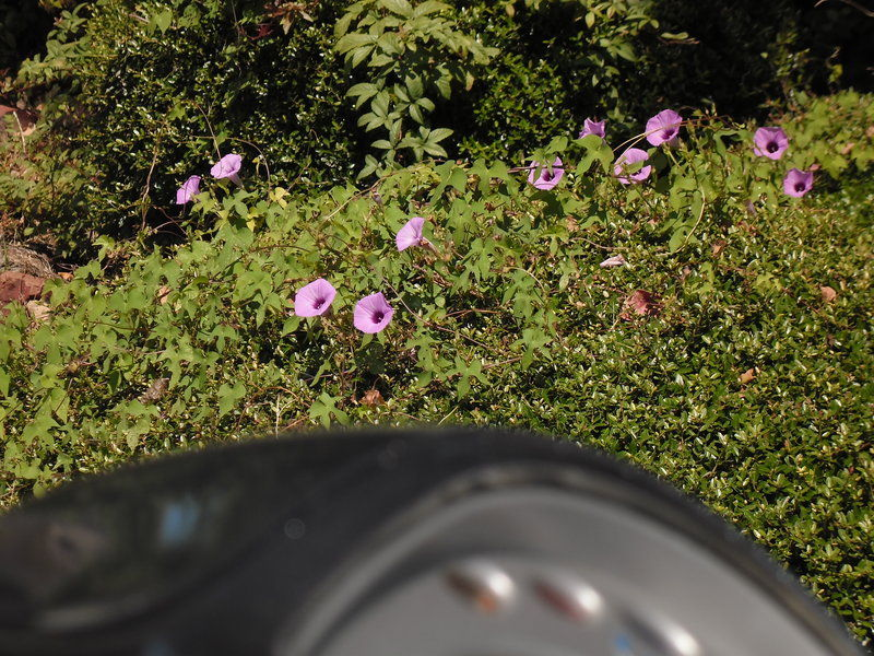 PurpleMorningGlories08152014.jpg