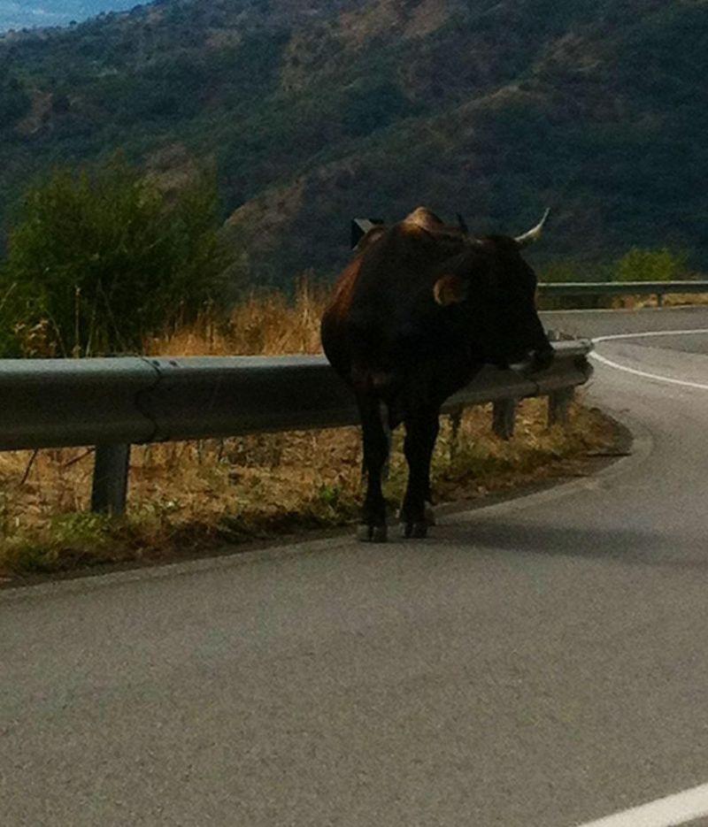 sicily trip sept 17 2012 meet the cow.jpg