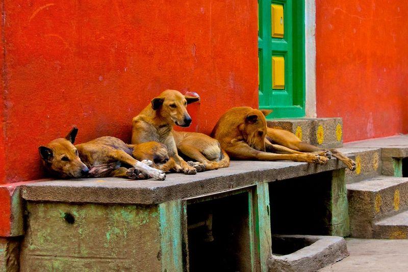 India dogs.jpeg